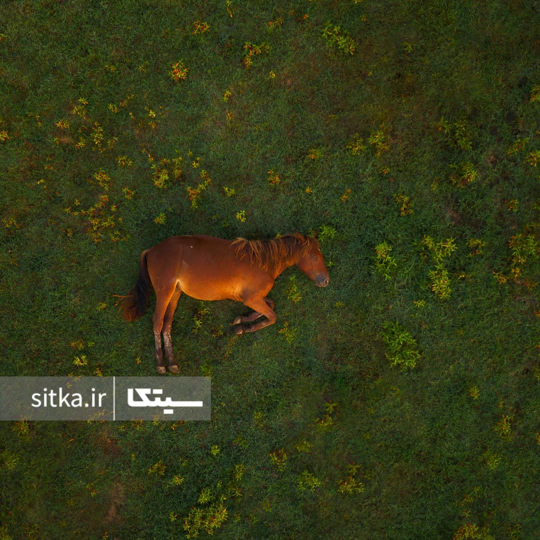 اسب خوابیده در چمنزار